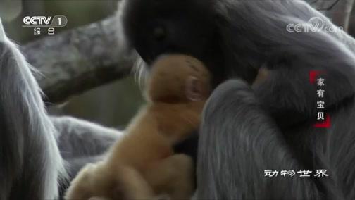 [动物世界]树顶上的育儿学校 小猴子痛苦并快乐着