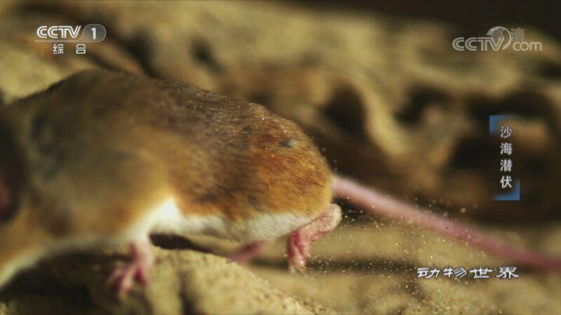 [动物世界]高速镜头清晰拍下角响尾蛇攻击沙漠鼠的瞬间