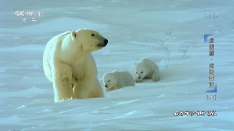 《动物世界》 20210414 北极熊·冰海奇遇(上)
