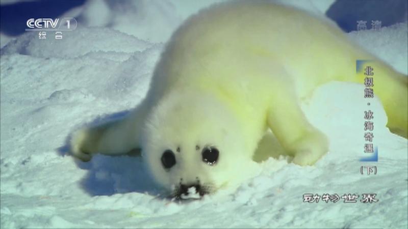 《动物世界》 20210415 北极熊·冰海奇遇(下)