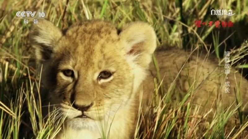 《自然传奇》 20210427 狮群故事·成长