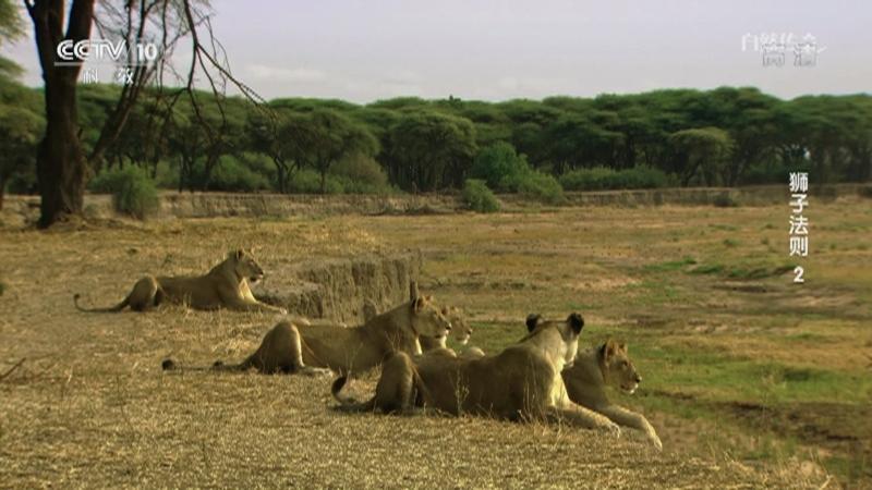 《自然传奇》 20210525 狮子法则2