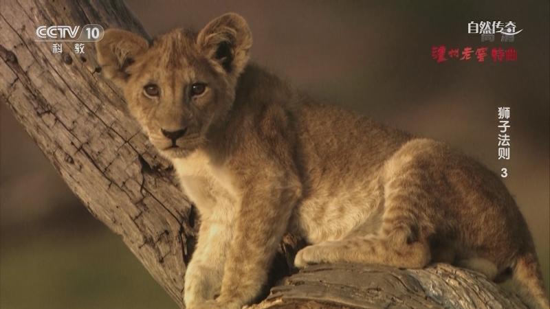 《自然传奇》 20210526 狮子法则3