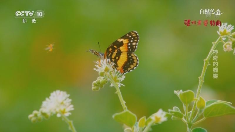 《自然传奇》 20210602 神奇的蝴蝶