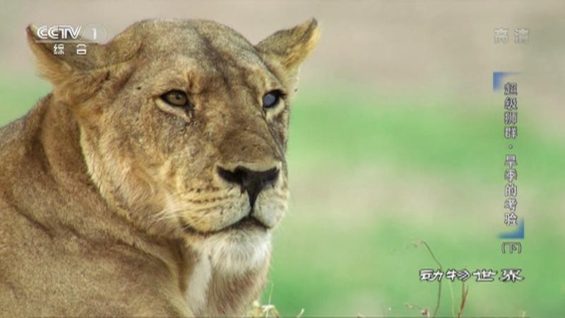 《动物世界》 20210715 超级狮群·旱季的考验(下)