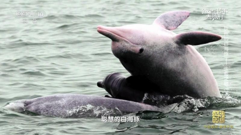 《跟着书本去旅行》 20210824 钦州的白海豚——生命之歌(下)