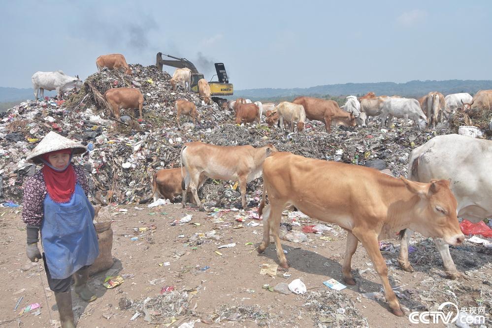 觸目驚心!印尼牲畜在垃圾場覓食。-Dog Time