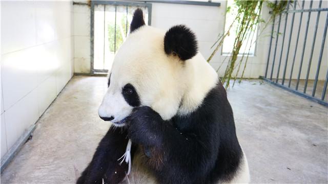 """旅美大熊猫""""白云""""""""小礼物""""平安抵达"""