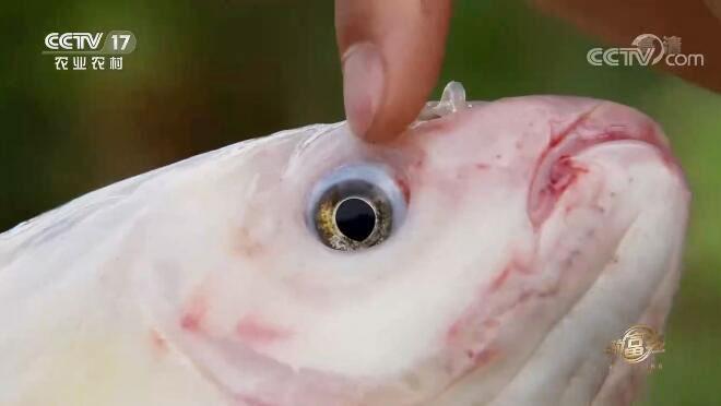 [致富经]巧养金草鱼 赚钱有高招20200804