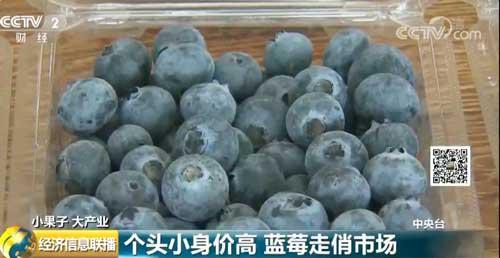个头小身价高 蓝莓走俏市场