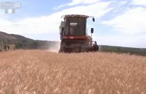 小麦开镰 晋陕开启麦收工作