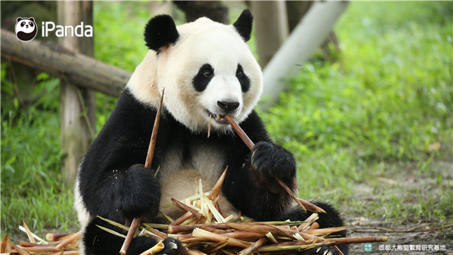 """大熊猫""""双欣"""""""