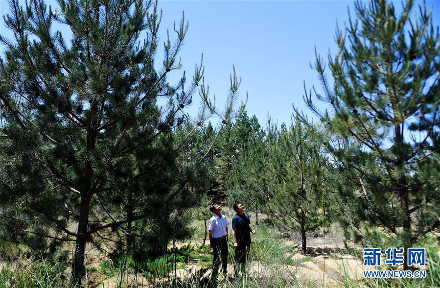 陕西省治沙研究所的工作人员在治沙实验林场里查看新引进的彰武松的生长情况(6月3日摄)。 新华社记者 刘潇 摄