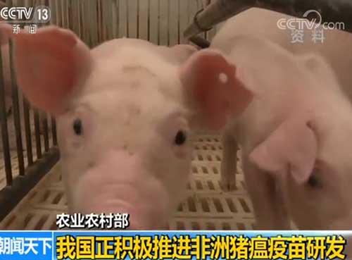 農業農村部:我國正積極推進非洲豬瘟疫苗研發