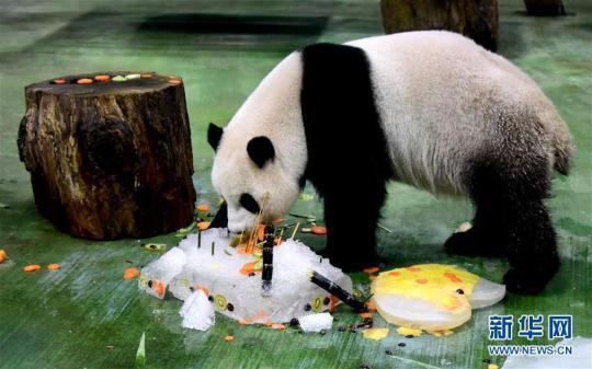 """7月6日,大熊猫""""圆仔""""享用""""生日蛋糕""""。新华社记者朱祥摄"""