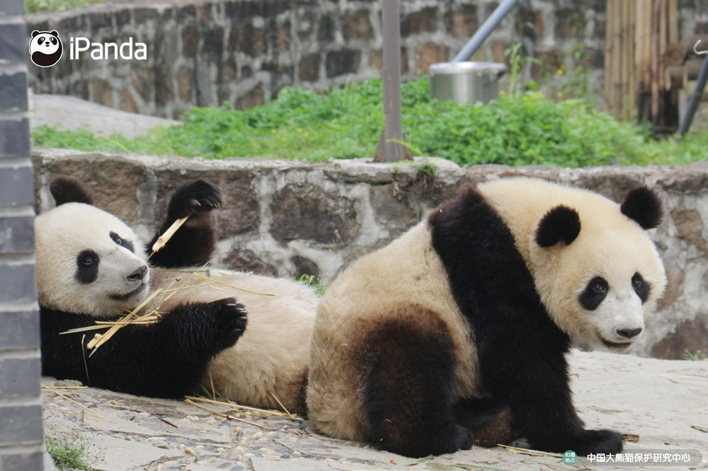 """大熊猫""""如意""""""""丁丁""""图"""