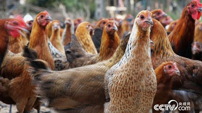 [致富经]两个养鸡汉 年卖上千万