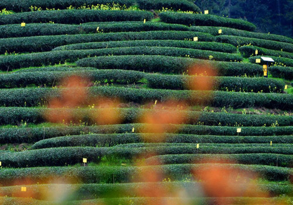 这是福建武夷山市星村镇的生态茶山(3月26日摄)。(新华社记者魏培全 摄)