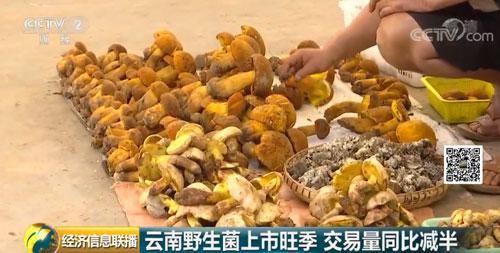 云南野生菌上市旺季 交易量同比减半