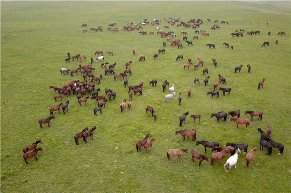 这是在中农发山丹马场有限责任公司一场拍摄的马群(8月21日无人机拍摄)。新华社记者 范培珅 摄
