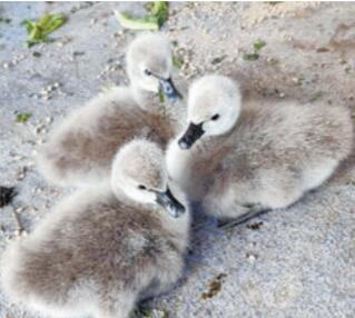 五缘湾湿地公园新增三只黑天鹅宝宝