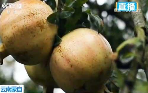 云南蒙自:百岁果树挂果勤 石榴园里说丰年