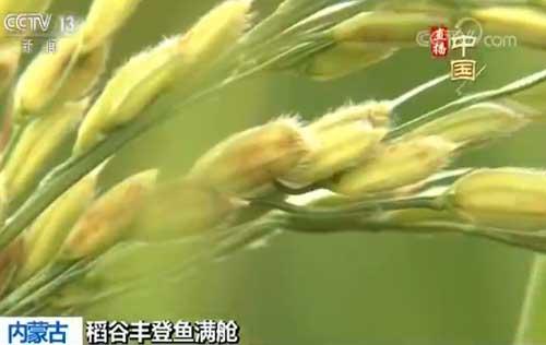 内蒙古:塞外大漠朔风起 金秋稻香鱼儿肥