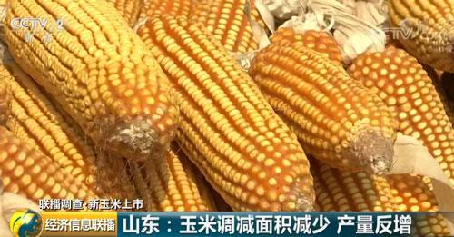 山东:玉米调减面积减少 产量反增