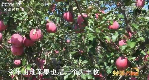 陕西绥德:山地苹果喜丰收 农民增收有保障