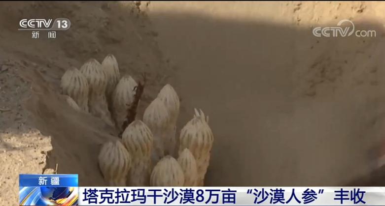 """塔克拉玛干沙漠8万亩""""沙漠人参""""进入采收季 丰收喜人"""
