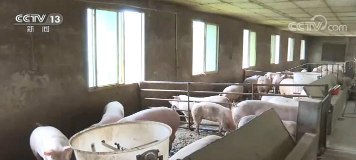 全国生猪产能持续恢复 保障岁末旺季猪肉消费