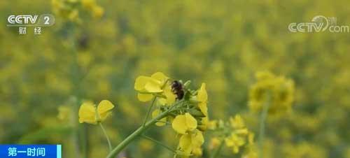 贵州册亨:千亩梯田油菜花迎春盛开 吸引游客踏青赏景