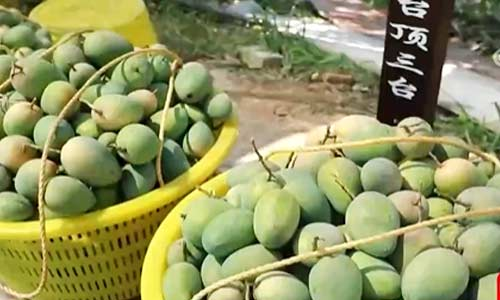广西百色:芒果飘香 果农增收致富