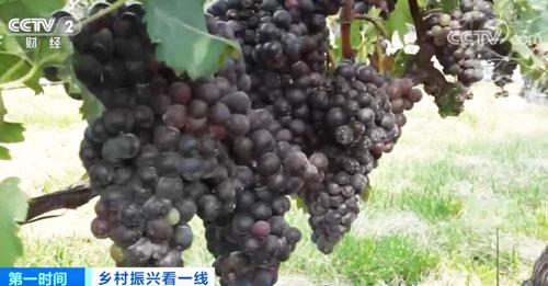 山东蓬莱:8万亩酿酒葡萄丰收 小葡萄串起大产业