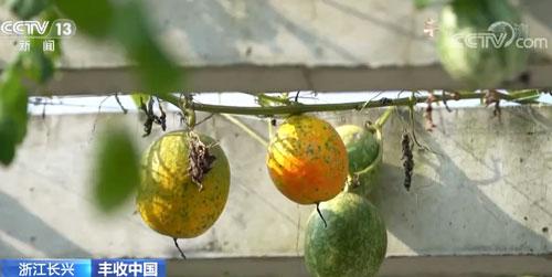 浙江长兴:千亩吊瓜喜迎丰收 量多价高