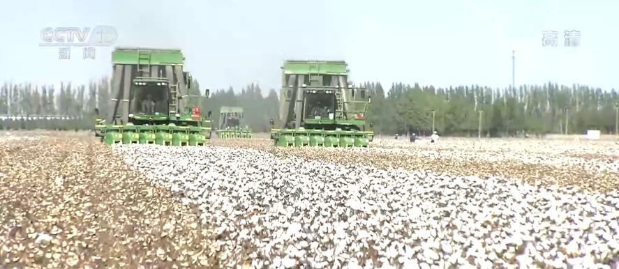 【丰收中国】新疆石河子:370万亩棉花迎来采摘期