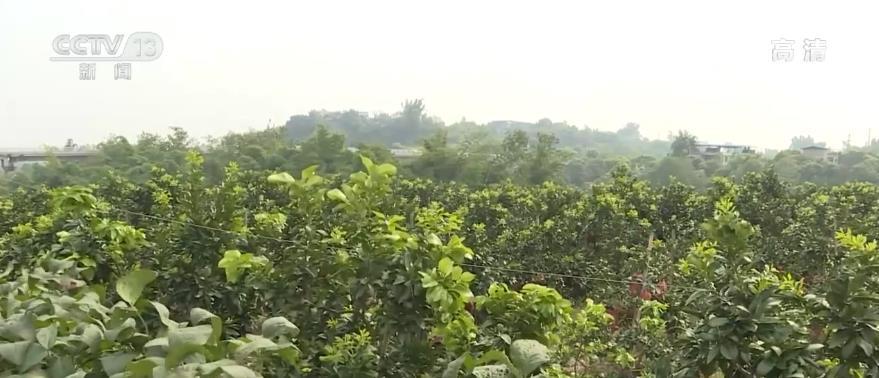 四川泸州:金秋蜜柚果飘香 正是丰收好时节